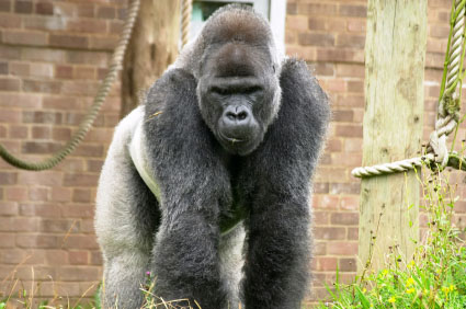 Gorilla at Bristol Zoo
